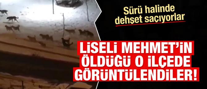 Kayseri'deki köpekler dehşet saçmaya devam ediyor