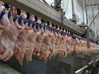 Tavuk sektörüne robotlar girdi
