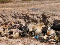 İBB'den Tuzla'da Hayvan Katliamı
